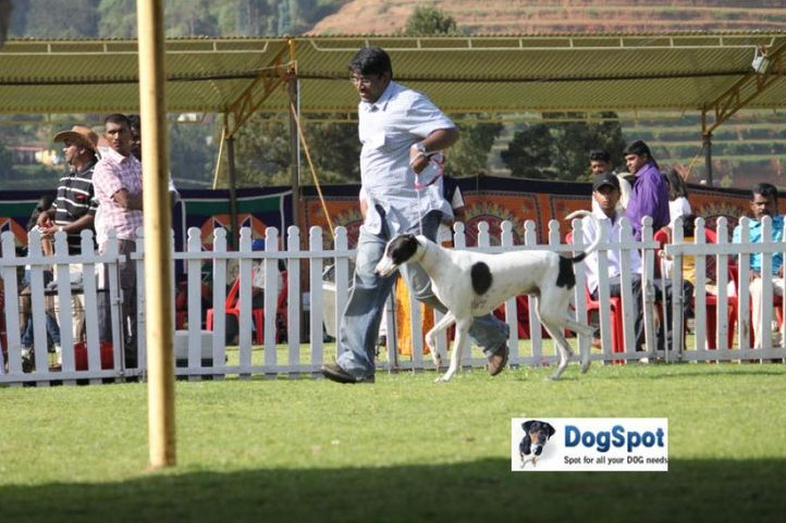 sw-18, caravan hound,, Ooty Dog Show 2010, DogSpot.in