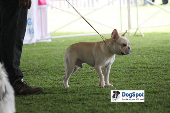 sw-18, ex-64,french bull dog,, TOPSLIP'S ANDY, French Bull Dog, DogSpot.in