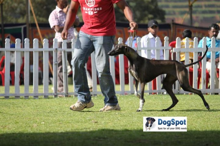 sw-18, madhol hound,, Ooty Dog Show 2010, DogSpot.in