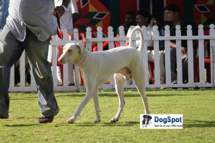 sw-18, rajapalayam,, Ooty Dog Show 2010, DogSpot.in