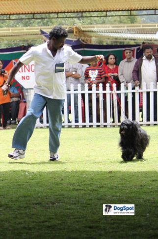 sw-18, tibetan terrier,, Ooty Dog Show 2010, DogSpot.in