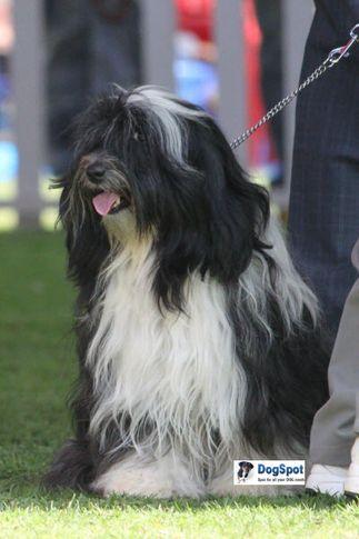 sw-18, tibetan terrier,, Ooty Dog Show 2010, DogSpot.in