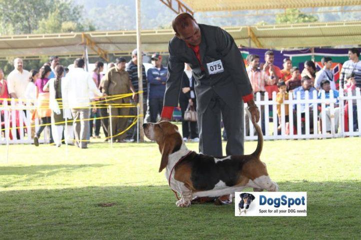 sw-18, basset hound,ex-075,, LASTELL'S I AM GOING TO GET YOU, Basset Hound, DogSpot.in