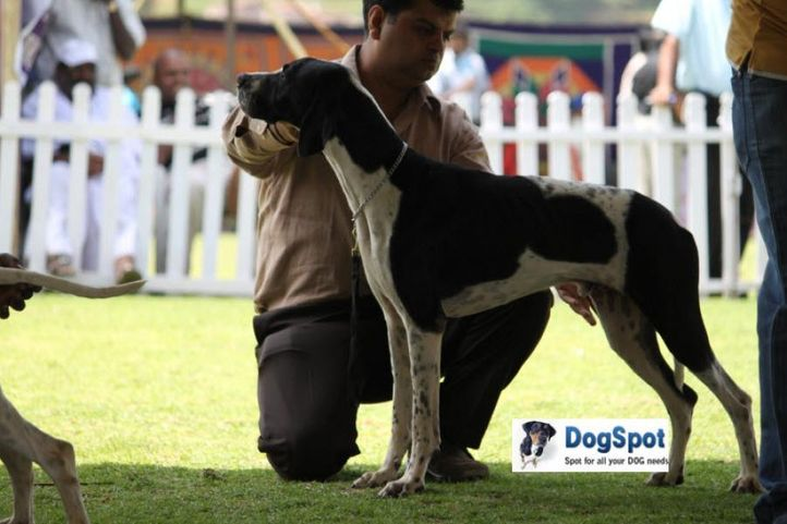 sw-18, pointer,, Ooty Dog Show 2010, DogSpot.in