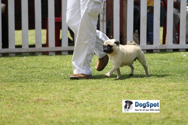 sw-18, pug,, Ooty Dog Show 2010, DogSpot.in