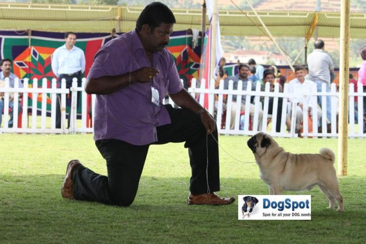 sw-18, ex-53,pug,, IND. TH. CH. NEO'S MEMO, Pug, DogSpot.in