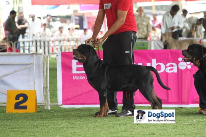 sw-18, ex-325,rottweiler,, RAFKAOBLMBARIN, Rottweiler, DogSpot.in