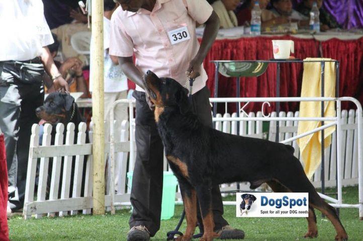 sw-18, ex-330,rottweiler,, HEPHJO'S ROCKET ROCKY, Rottweiler, DogSpot.in