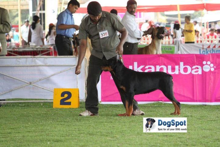 sw-18, ex-339,rottweiler,, BOOZO'S BLACK CURRENT, Rottweiler, DogSpot.in