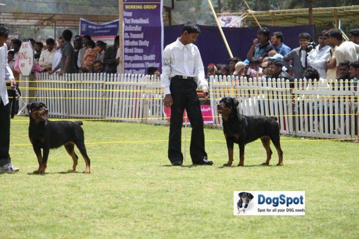 sw-18, ex-344,rottweiler,, MAINKARS BRITA, Rottweiler, DogSpot.in