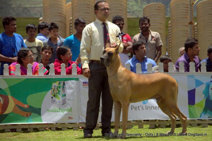 great dane,great dane speciality,, Ooty Specialities & All Breed Dog Show, DogSpot.in