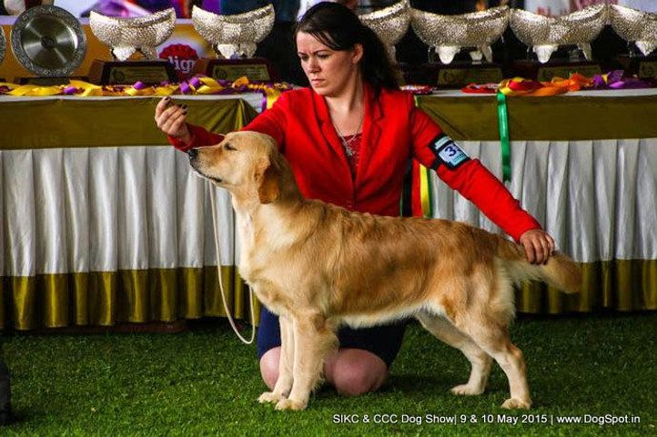 golden retriever,, Ooty Specialities & All Breed Dog Show, DogSpot.in