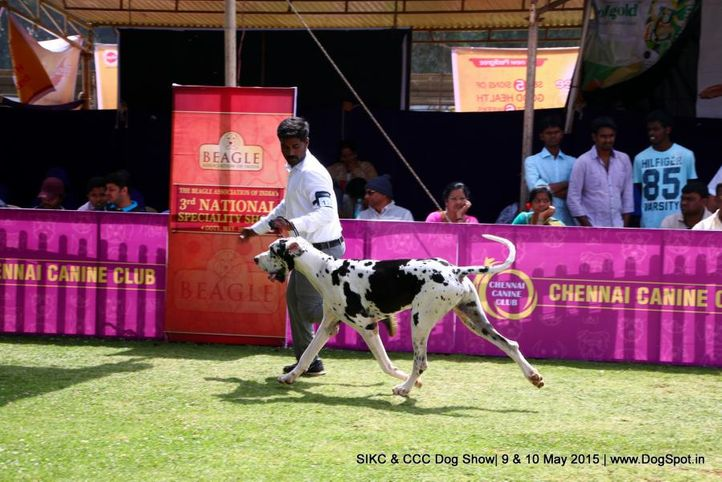 great dane,, Ooty Specialities & All Breed Dog Show, DogSpot.in