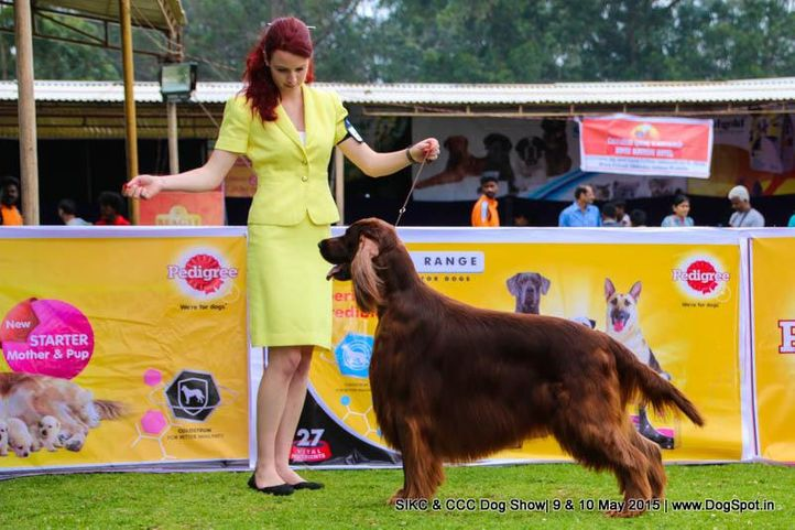 irish setter,, Ooty Specialities & All Breed Dog Show, DogSpot.in