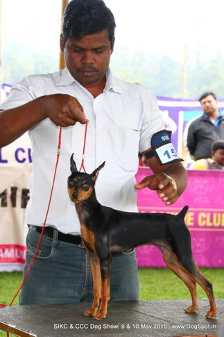 min-pin,, Ooty Specialities & All Breed Dog Show, DogSpot.in