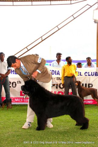 newfoundland,, Ooty Specialities & All Breed Dog Show, DogSpot.in