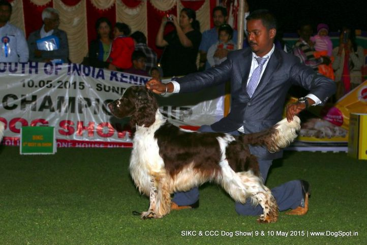 springer spaniel - english,, Ooty Specialities & All Breed Dog Show, DogSpot.in
