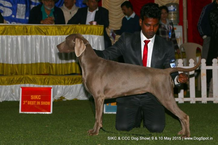 weimaraner,, Ooty Specialities & All Breed Dog Show, DogSpot.in