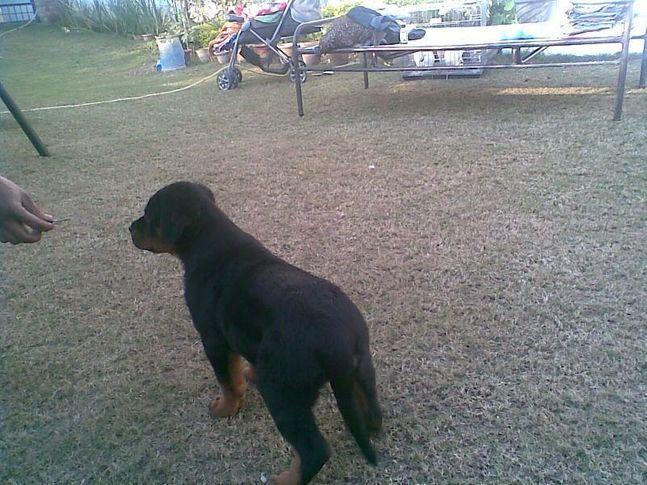 Rottweilers, Rott, Rotts, Rott Import, OOZY, DogSpot.in