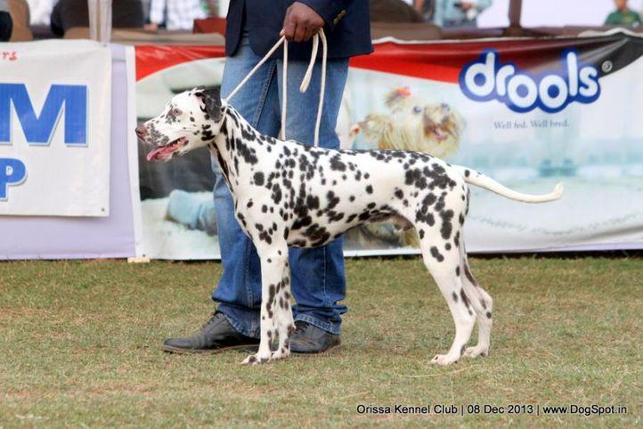 dalmatian,ex-16,sw-104,, OBBY, Dalmatian, DogSpot.in