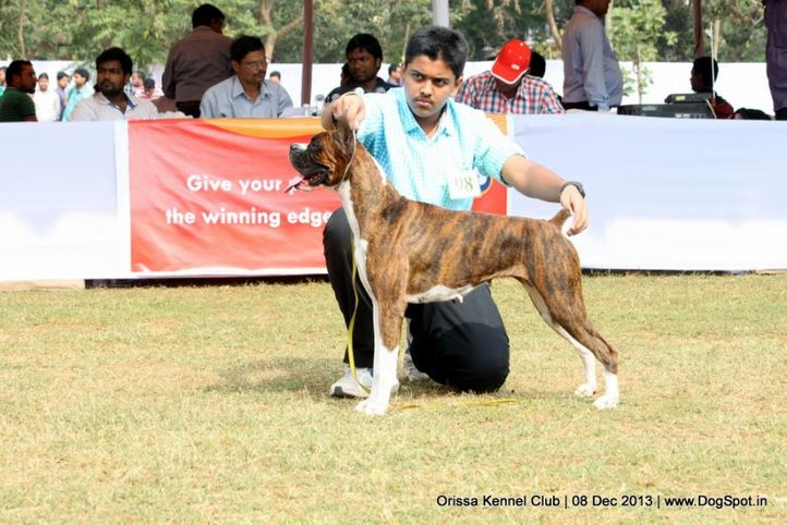 boxer,ex-98,sw-104,, IMAGE BLACK LACE, Boxer, DogSpot.in
