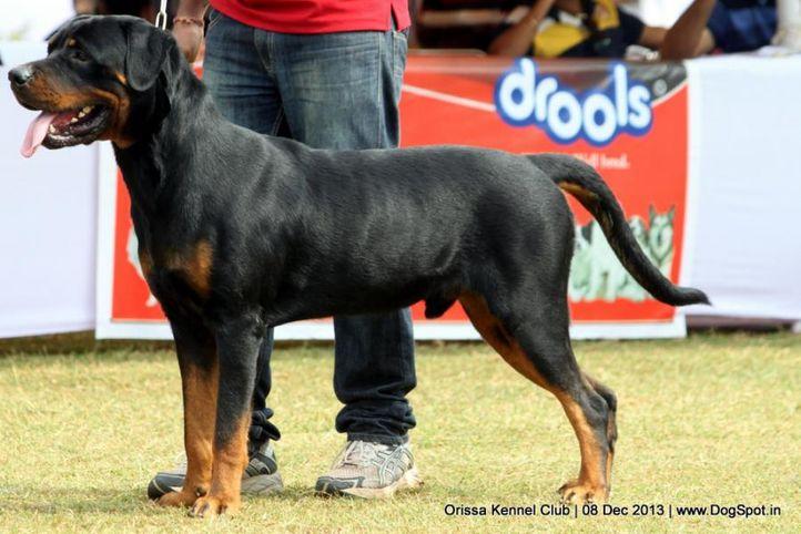 ex-136,rottweiler,sw-104,, BRANCO, Rottweiler, DogSpot.in
