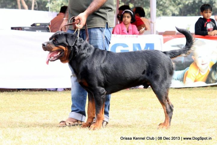 ex-138,rottweiler,sw-104,, IWAN, Rottweiler, DogSpot.in