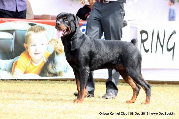 ex-140,rottweiler,sw-104,, DARK WORRIOR, Rottweiler, DogSpot.in