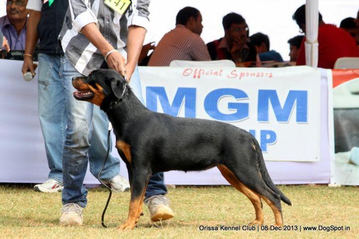 ex-141,rottweiler,sw-104,, KATRINA, Rottweiler, DogSpot.in