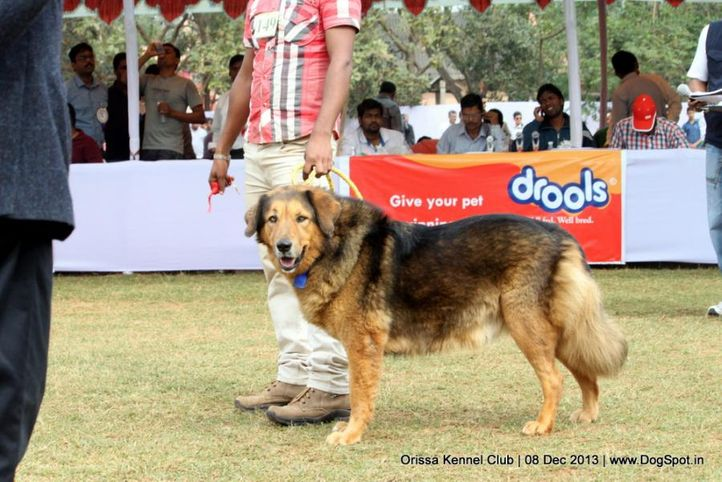 ex-149,sw-104,tibetan mastiff,, XENA OF SARAS, Tibetan Mastiff, DogSpot.in