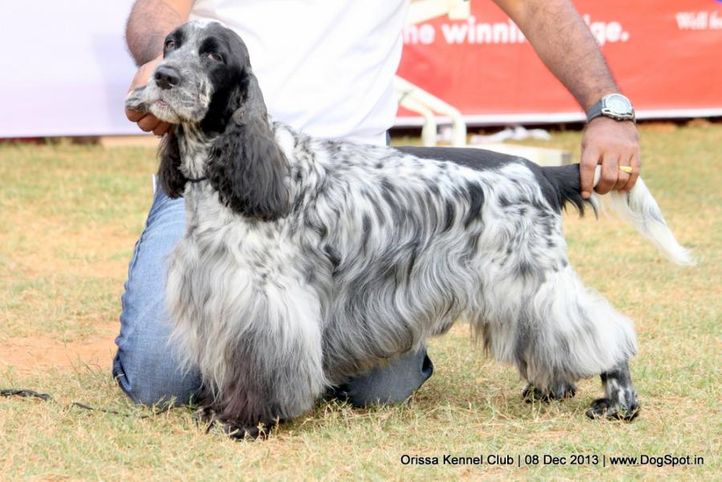 cocker spaniel,ex-51,sw-104,, AUST. CH. HERUKS ELSPAN CROWN DERBY, Cocker Spaniel- English, DogSpot.in