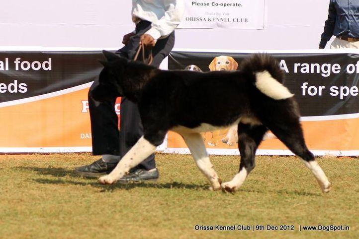 akita,sw-68,, Orissa Dog Show, DogSpot.in