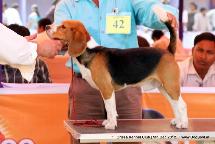 beagle,ex-43,sw-68,, BLUE BELL'S CHASE, Beagle, DogSpot.in