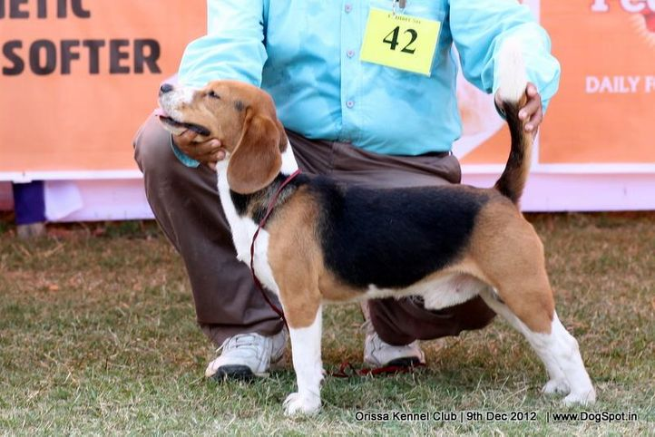 beagle,ex-42,sw-68,, CHAROON PACE SETTER, Beagle, DogSpot.in