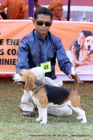 beagle,ex-48,sw-68,, BUNGLEWOOD GLAMOUR GIRL, Beagle, DogSpot.in