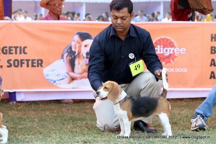 beagle,ex-49,sw-68,, ANJAN'S BUNGLEWOOD'S CUTE GIRL, Beagle, DogSpot.in