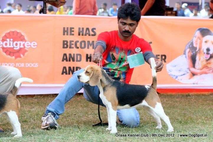beagle,sw-68,, Orissa Dog Show, DogSpot.in