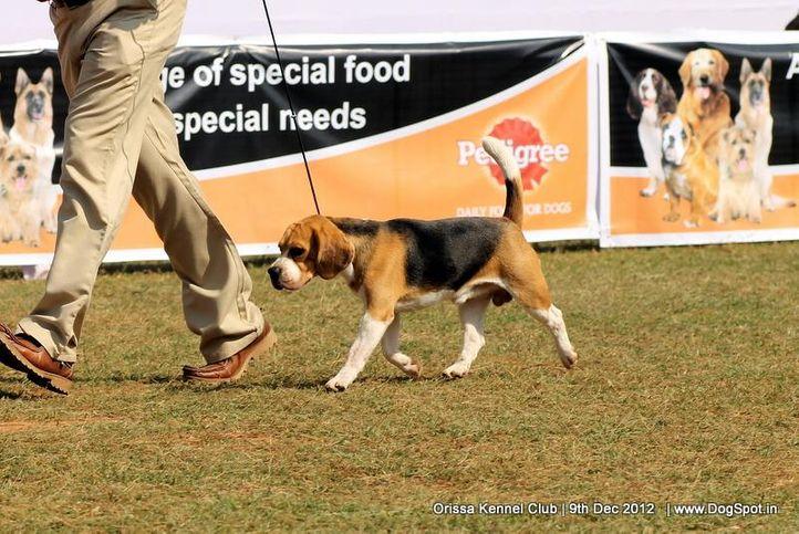 beagle,ex-55,sw-68,, BLUE LINE WRIGHT RUN, Beagle, DogSpot.in