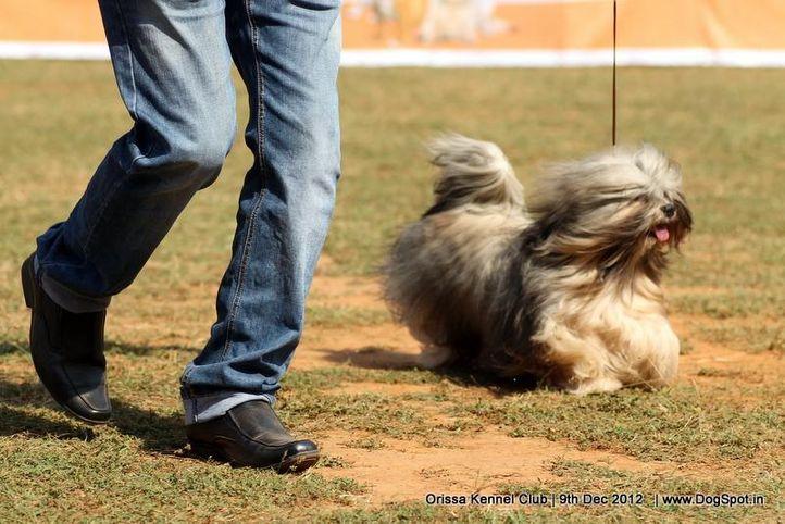ex-31,lhasa apso,sw-68,, TORO, Lhasa Apso, DogSpot.in