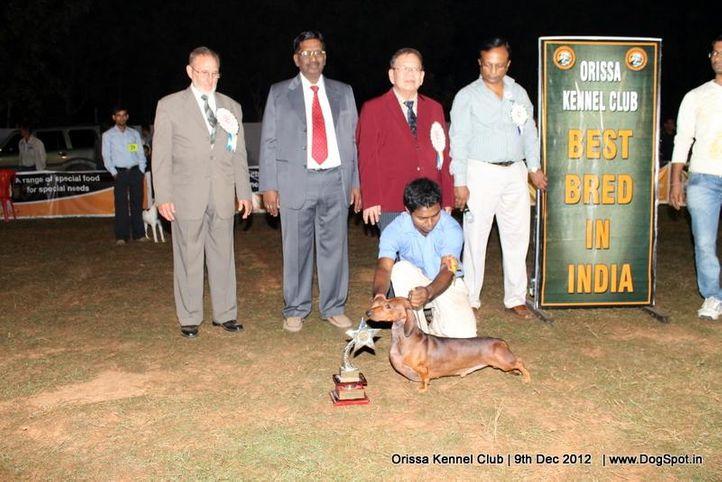 dachshund,line up,sw-68,, Orissa Dog Show, DogSpot.in