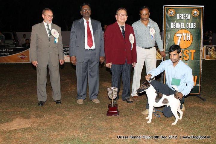 fox terrier,line up,sw-68,, Orissa Dog Show, DogSpot.in