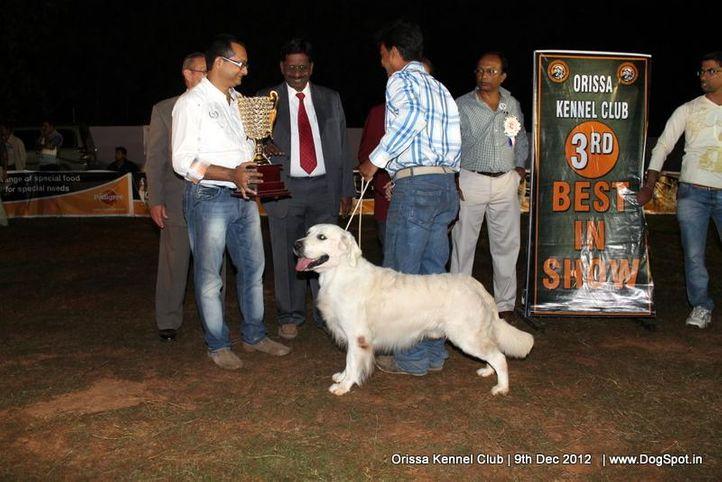 golden retriever,line up,sw-68,, Orissa Dog Show, DogSpot.in