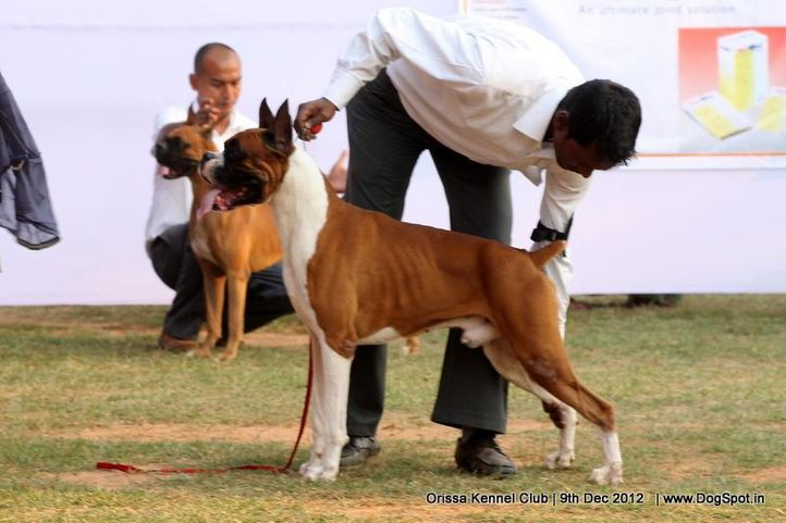 boxer,ex-146,sw-68,, SILVER CLOUD'S IMAGE OF SPIRIT, Boxer, DogSpot.in