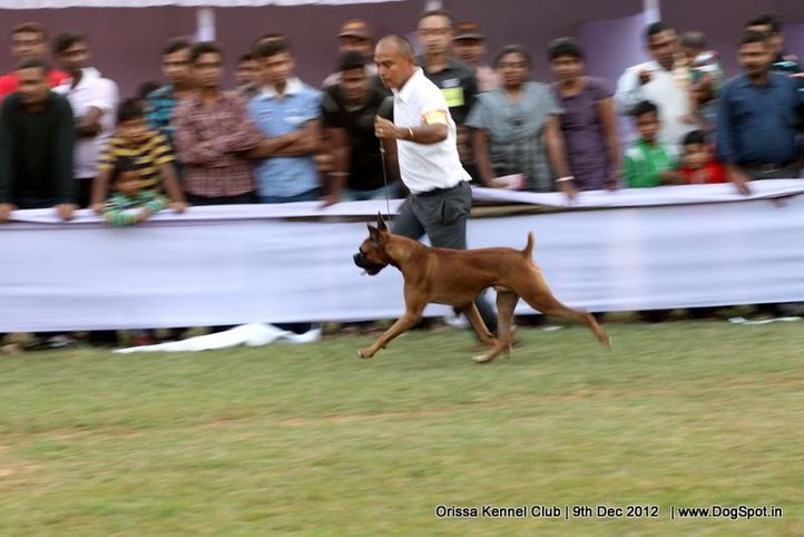 boxer,ex-139,sw-68,, SIGNATURE OF NEXT STEP, Boxer, DogSpot.in