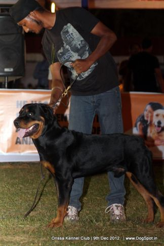 ex-186,rottweiler,sw-68,, 181.CROM WELL OF OAKSAI WOOD'S, Rottweiler, DogSpot.in