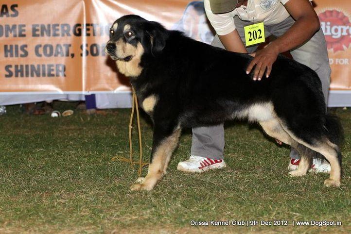 ex-202,sw-68,tibetan mastiff,, TIGER OF TWINCITY, Tibetan Mastiff, DogSpot.in