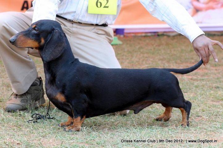 dachshund,ex-62,sw-68,, JOCK, Dachshund Standard- Smooth Haired, DogSpot.in