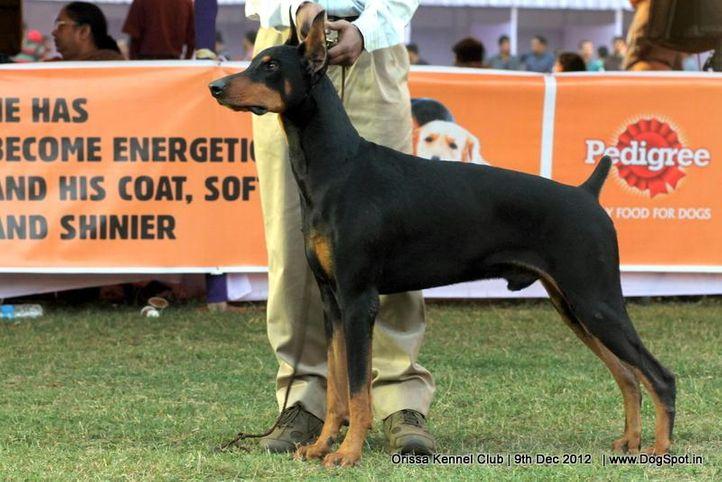 dobermann,ex-150,sw-68,, WOLFS BECK'S HULK, Doberman Pinscher, DogSpot.in