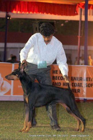 dobermann,sw-68,, Orissa Dog Show, DogSpot.in