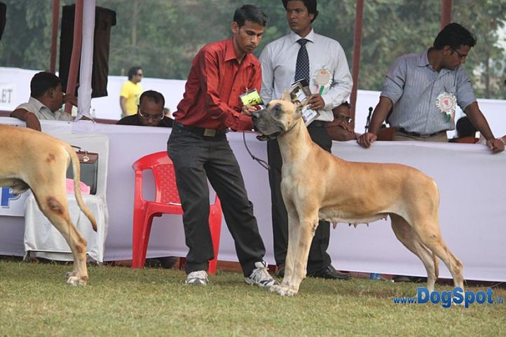 ex-87,great dane,sw-10,, ABSTRACT'S ANGELINA, Great Dane, DogSpot.in